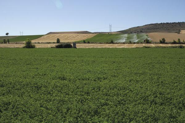 Abonado de alfalfa