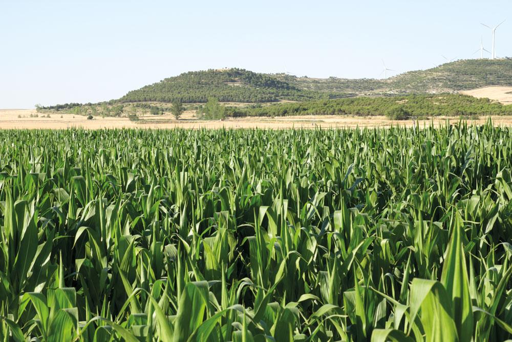Estados fenológicos del maíz