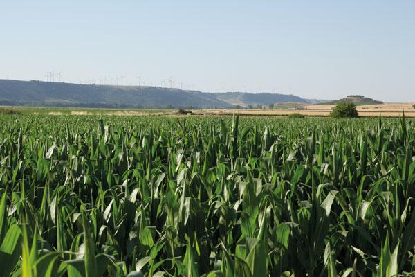 Cálculo del nitrógeno en el cultivo del maíz