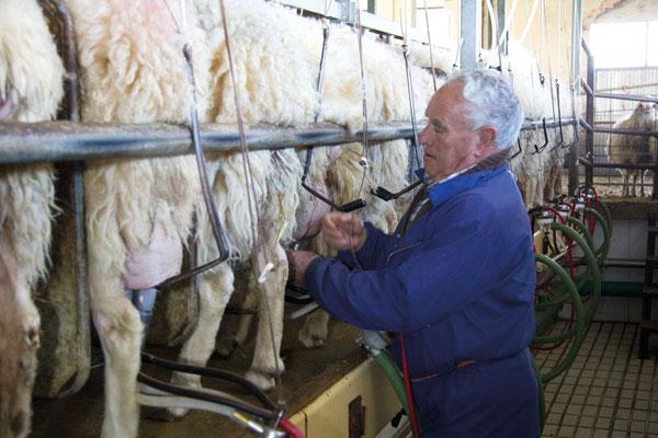 Ahorro energético en ovino lechero